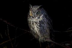 Long-eared Owl / Hibou moyen-duc (shimmer5641) Tags: asiootus longearedowl hiboumoyenduc northernlongearedowl raptor birdofprey britishcolumbiacanada birdsofbritishcolumbia birdsofnorthamerica