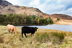 Grazing at Blea Tarn (Keith in Exeter) Tags: grazing cow animal beef bleatarn langdale lakedistrict nationalpark cumbria landscape grass field rush forest mountain lake sky water tree