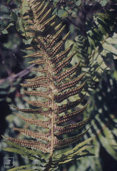 Sword Fern, Polystichum munitum. Lake Mills, Olympic National Park (Mary Gillham Archive Project) Tags: 1987 87411 lakemills leaves olympicnationalpark planttree polystichummunitum spores swordfern usa washington