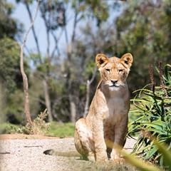(Laszlo Papinot) Tags: werribeeopenrangezoo werribee lion cub lioncub