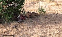 Survival-Safari-Tsavo National Park-Kenya (4) (johnfranky_t) Tags: leonessa zebra johnfranky t panasonic tz40 lumix tree lioness zampe