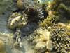 African lionfish (Peter_069) Tags: tauchen diving scuba malediven maldives äqypten egypt wasser water underwater unterwasser padi fische fisch fish shellfish muscheln moräne moränen moraine batfish fledermausfisch koralle korallen coral nemo clownfisch clownfish boot boat vessel blaueswasser bluewater