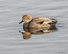 Gadwall (pandatub) Tags: bird birds duck gadwall reflection shorelinepark mountainview