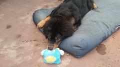 26734066_10214902543784045_3068835951175652858_n (natedetienne) Tags: ash tibetan mastiff puppy tm