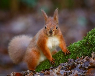 Red Squirrel 7464(6D3) 10x8