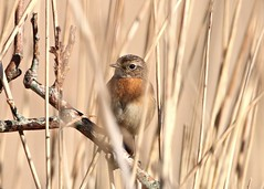 Stonechat (female) (WLE 17) Tags: hampshire marshes farlington stonechat bird reeds