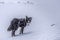Artic Collie (JJFET) Tags: mountain border collie sheepdog ice collies dog littledoglaughedstories