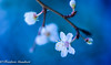 Spring Droplets of Hope (frederic.gombert) Tags: light blue sun flower tree plant color colors colorful spring winter macro bloom blossom blooming nikon