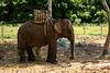 Elephant in Daklak (Hồ Viết Hùng (Thanks so much for 1mil. views!) Tags: animal elephant mou mountain daklak highland vietnam nikond800 nature