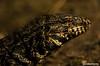 LAGARTO OVERO (sebacarrerasfotografia) Tags: lagarto reserva ecologica argentina buenos aires naturaleza