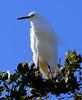 Snowy Egret (Egretta thula); Lighthouse Park, Sanibel Island, FL [Lou Feltz] (deserttoad) Tags: bird wildbird nature wader egret white florida water tree behavior