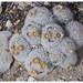 Mammilaria lasiacantha (Golf Ball Cactus)