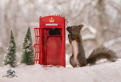 red squirrel with an Telephone Booth in snow (Geert Weggen) Tags: animal closeup communication cute fear food fun hair holidayevent humor looking mammal mystery nature photography red rodent square squirrel sweden taillight talking telephone telephonebooth tree talk phone connect winter snow christmas holiday bispgården jämtland geert weggen ragunda