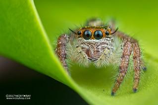 Jumping spider (Hyllus sp.) - DSC_2834