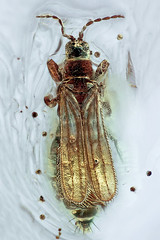 Eocranothrips annulicornis ♀ (holotype of E. leptocerus syn. nov.) (manfredulitzka) Tags: micro mikro bernstein amber thrips thysanoptera insekt insect melanthripidae fossil eozän eocene