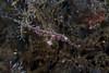 Ornate Ghostpipe Fish (prilfish) Tags: bali tulamben karangasem indonesia indonesien dive diving scuba tauchen underwater unterwasser