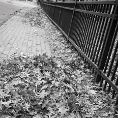 Leafdom (andymudrak) Tags: 365 photography leaf pile sidewalk fence street bw squareformat
