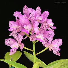 Cattleya Lulu 'Hot Pink' (Harlz_) Tags: cattleyaluluhotpink cattleya lulu orchid flower bloom