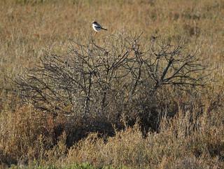 Loggerhead Shrike on the African Box Thorn