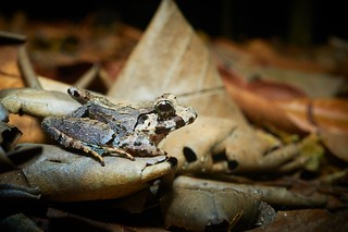 Crab-eating Frog (Fejervarya crancrivora), Singapore