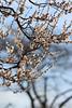 梅 (TM**) Tags: plumblossom 梅の花