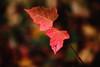 Leaves (elenashen5) Tags: red leaves leaf