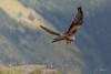 Milano real (Carolina Aparicio Ayora) Tags: milano real rapaces aves pajaros naturaleza wildlife