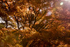 IMG_1471 (Matthew_Li) Tags: red leaf japan maple leaves