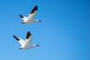 Snowgeese in flight (John Brighenti) Tags: bird birds geese goose snowgeese sandpiper blueheron feather sky beach water ocean winter frozen sand photography sonya7 minolta rokkor 200mm chincoteage island wildliferefuge virginia va national park