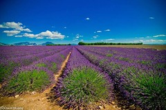 Lavender field - Valensole, Provence (Yiing Juii) Tags: provence lavender france 普羅旺斯 薰衣草 南法 法國 亞維儂 valensole