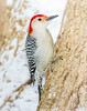 Red-bellied Woodpecker (tresed47) Tags: 2018 201801jan 20180130homebirds birds canon7d chestercounty content folder home january pennsylvania peterscamera petersphotos places redbelliedwoodpecker season takenby us winter woodpecker