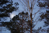 Haze Ring Around The Moon. (dccradio) Tags: lumberton nc northcarolina robesoncounty outside outdoors tree trees nature natural greenery pine evergreen sky morning morningsky bluesky goodmorning earlymorning moon lunar branch branches treebranch treebranches treelimbs sticks nikon d40 dslr