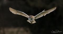 On Silent Wings (JDS-photo) Tags: barnowl tytoalba owl wildbarnowl wildowl bird birdinflight birdofprey hunting wildlife nature lightroom canoneos80d canonef400mmf56lusm