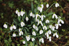 Snowdrops at Cliveden Gardens. (Meon Valley Photos.) Tags: snowdrops cliveden house gardens national trust ngc