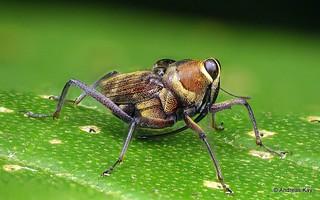 Weevil, Curculionidae