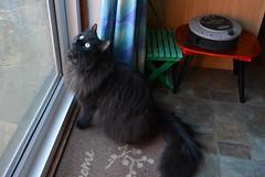 Birdwatching (Caulker) Tags: kitchen cat birdwatching
