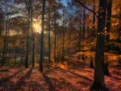 Hesede forest in sunrise (ibjfoto) Tags: utumcolor autumn autumntræer danmark denmark efterårsfarver forest ibjensen ibjfoto natur sjælland zealand efterår landscape landskab natura outdoor skov solopgang sunrise trees