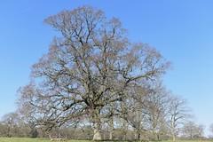 The Vyne Basingstoke 25 February 2018 008 (paul_appleyard) Tags: thevyne basingstoke the vyne national trust oak tree winter february 2018