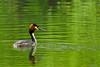 Great Crested Grebe (Sarah Fraser63) Tags: greatcrestedgrebe grebe bird seabird ballarat victoria lakewendouree water lake green birds