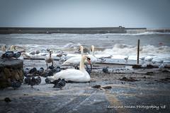 Cold Swan... (corinna.nolan) Tags: swan bray harbour stormemma hightide