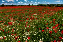 Great Witchingham (A Picture Of Norfolk) Tags: great witchingham lenwade reepham norfolk england countryside landscape summer poppies daisies field farm red wildflowers crop rural arable agriculture