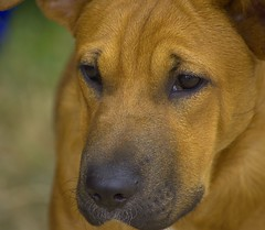 Read My Face (swong95765) Tags: dog expression face canine animal cute eyes