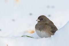 Junco Ardoisé / Dark-eyed Junco (ALLAN .JR) Tags: juncoardoisé darkeyedjunco oiseau bird neige snow nature wildlife chateauguay nikon juncohyemalis femelle