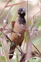 Black-throated Munia (harshithjv) Tags: bird birding munia blackthroatedmunia black lonchura kelaarti aves avian chordata passeriformes estrildidae canon 80d tamron bigron g2