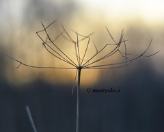 Winter sunset. (agnieszka.a.morawska) Tags: dof lublin poland winter meadow bokeh macro helios44m helios sunset nature beyondbokeh bokehlicious bkhq