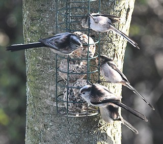 Long-tailed Tits_19Jan18