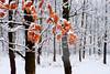 red and white (Dumby) Tags: landscape pădure ilfov românia vaduanei brănești iarnă winter nature lx3 panasonic