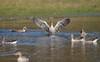 Have Play... (Anirban Sinha 80) Tags: nikon d610 fx 500mm f4 ed vrii n g bokeh bird goose bath wetland group wings water
