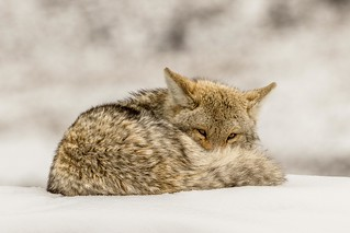 Resting Coyote, Yellowstone NP