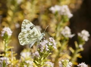Esta mariposa, que aunque parece idéntica a otras especies de color blanco y verdosa con puntos negros, es  la Blanquiverdosa, nombre científico Pontia daplicide .